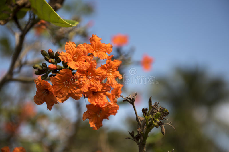 Geiger Tree. On an island key in southern Florida royalty free stock image