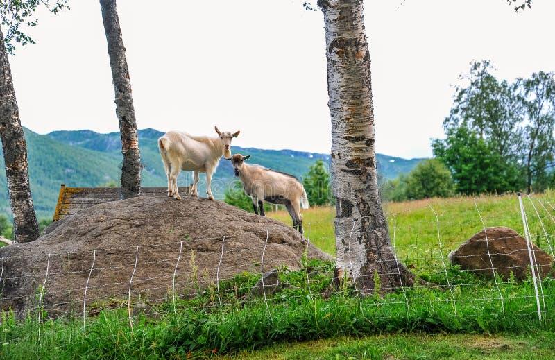 GEILO, NOORWEGEN - JULI, 2015: Geiten die zich op de rots in het midden van groene weide in de stad van Geilo, Noorwegen bevinden stock foto's