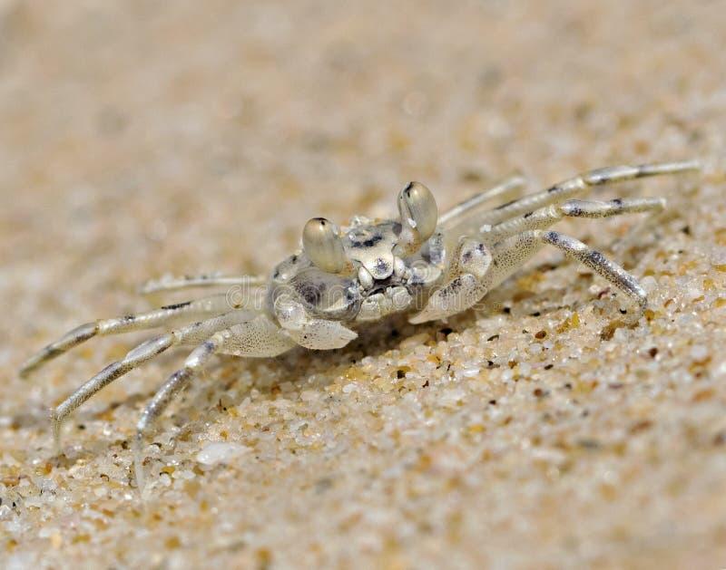 Geist-Krabbe stockbild