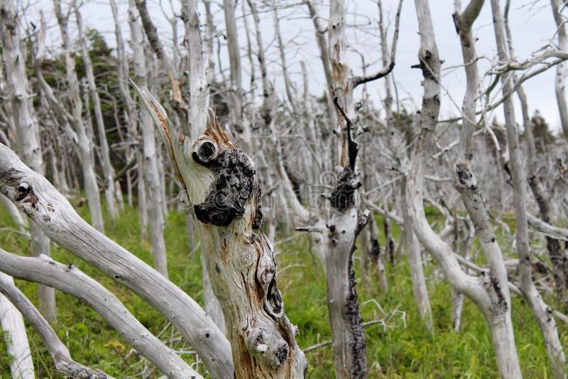 Geist tuckamore Wald lizenzfreie stockfotos