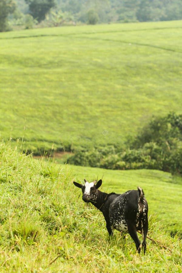 Geit dichtbij teplants in Oeganda royalty-vrije stock afbeelding