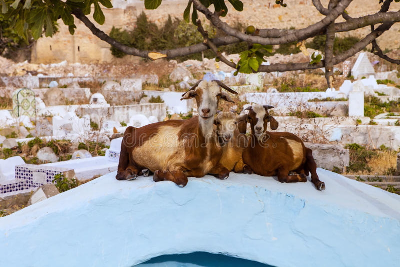 Geit die op de grafsteen, Tetouan, Marokko rusten stock fotografie