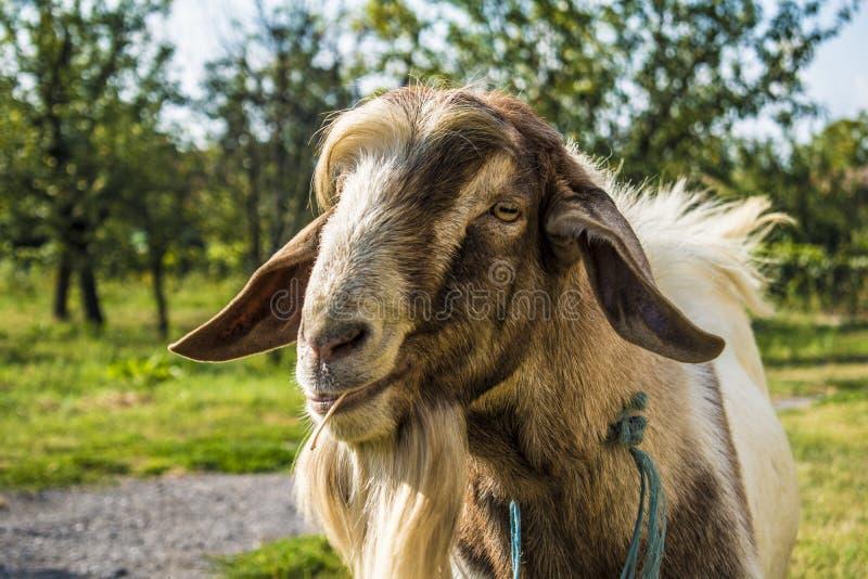 Geit/dier in platteland op gras stock afbeeldingen