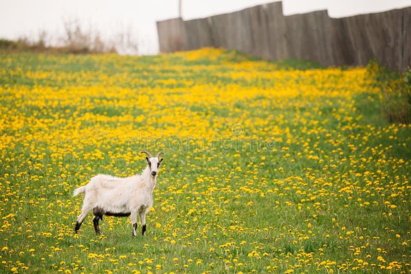 Geit het Weiden in de Lenteweide met Verse Groene Gras en Paardebloem royalty-vrije stock fotografie