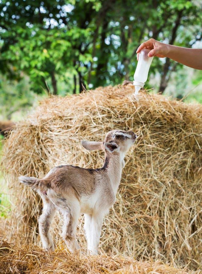 Geit in landbouwbedrijf stock foto's