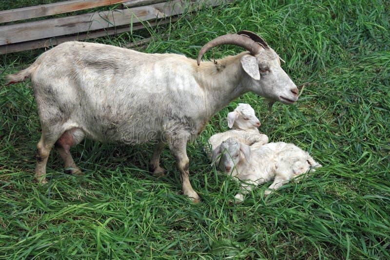 Geit met jonge geitjes stock afbeelding