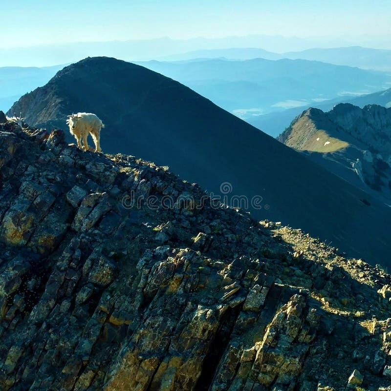 Geit op berg stock fotografie