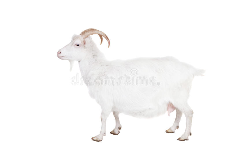 Geit op een witte achtergrond stock foto