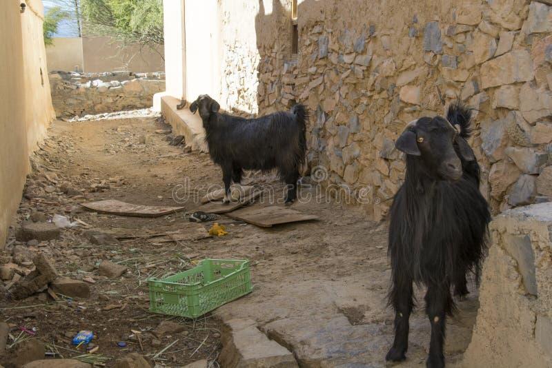 Geiten in Al Hamra royalty-vrije stock foto's