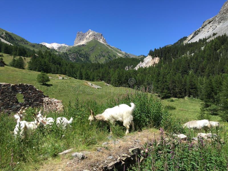 Geiten in de bergen stock fotografie