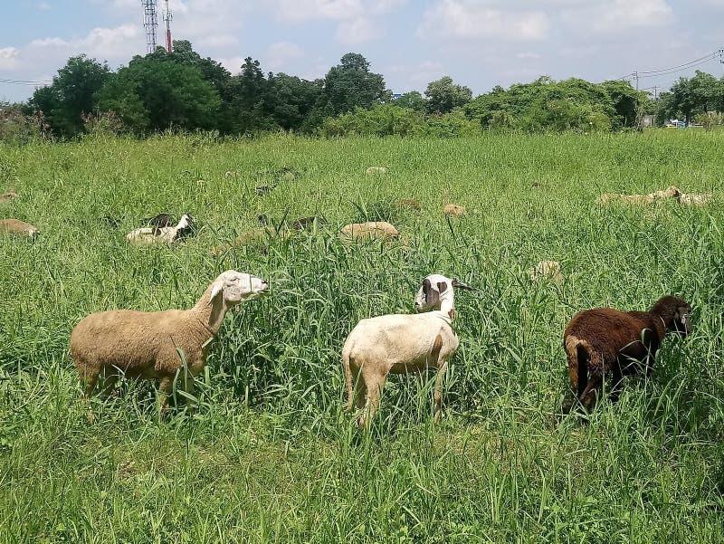 3 geiten en hun kudde stock foto