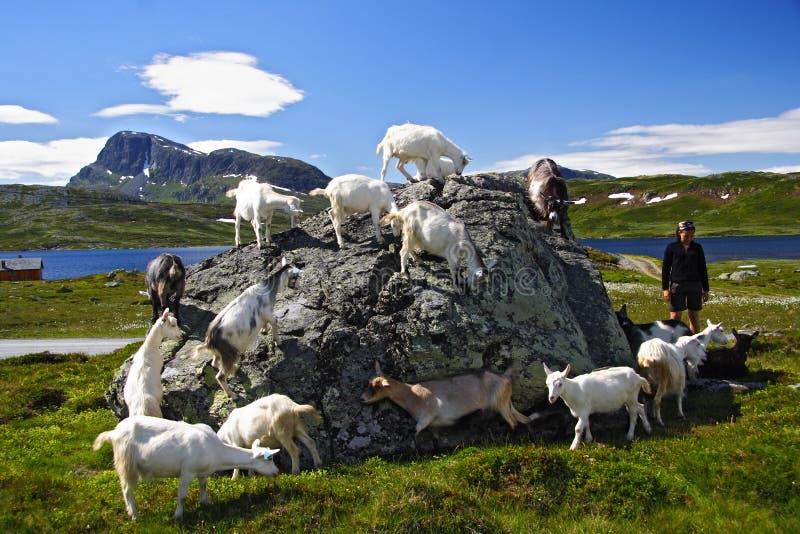 Geiten en wandelaar in Noorwegen stock afbeeldingen
