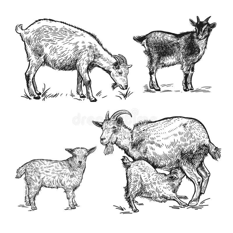 Geiten, klein geiten en lam Geplaatste de dieren van het landbouwbedrijf Geïsoleerde realist stock illustratie