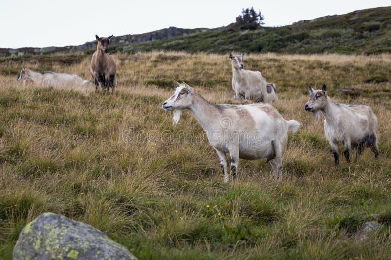 Geiten op de weide Werd gezien in Jotunheimen, Noorwegen royalty-vrije stock foto