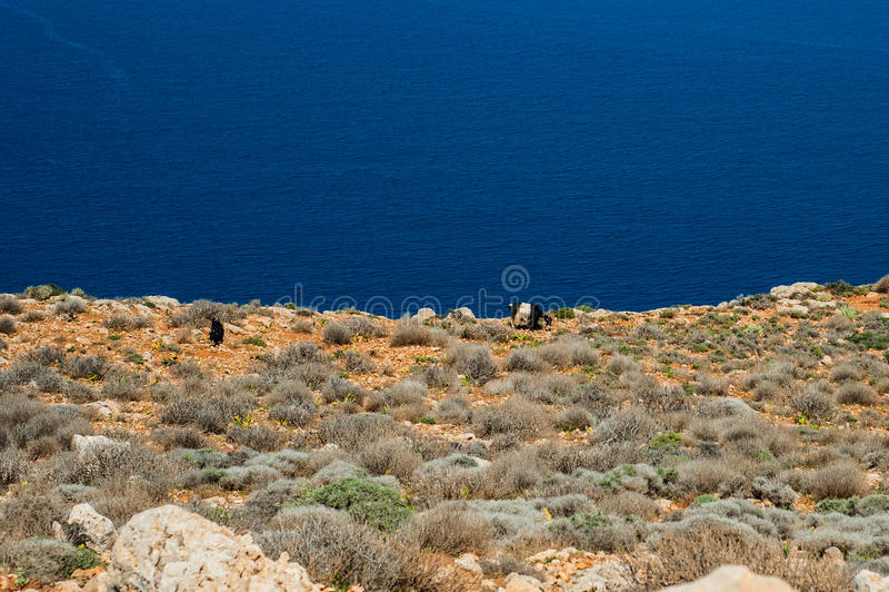Geiten op Overzeese kust, turkoois water en rotsachtige heuvel Weg aan Balo stock foto's
