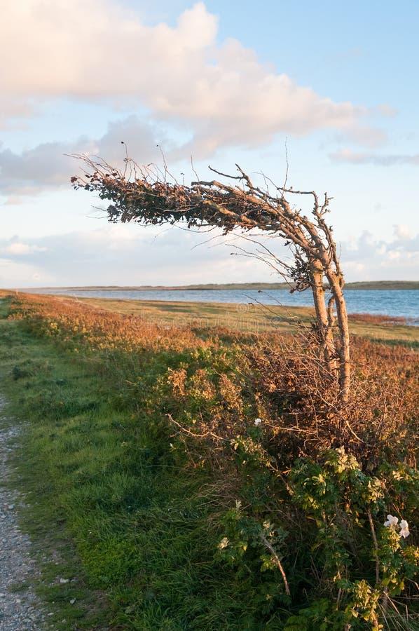 Geiten zelfs sprong op een hellende boom stock foto