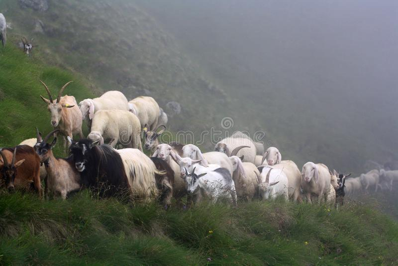 Geitkudde op bergweg in mist stock foto's