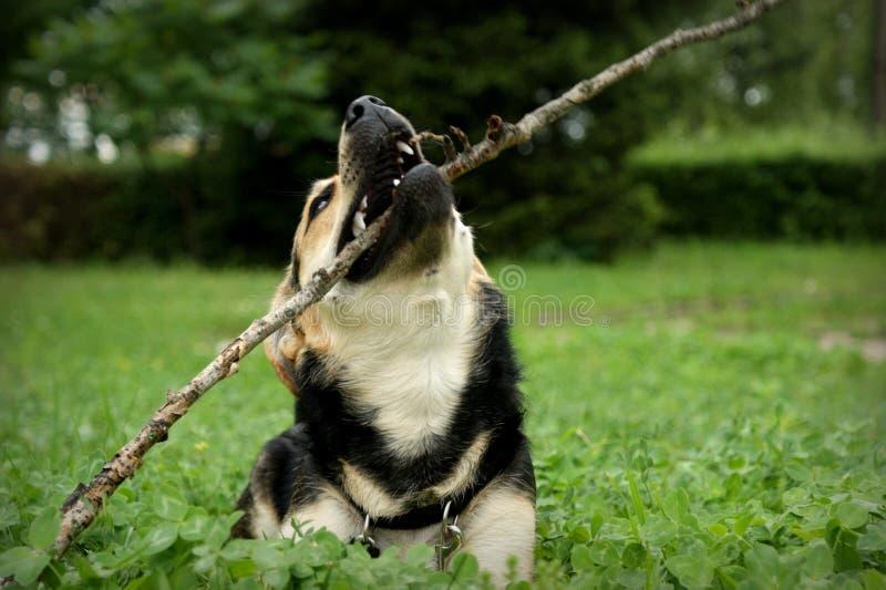 Gek en mal puppy stock foto