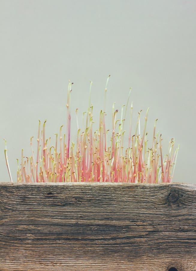 Gekeimte Kartoffeln in einer Holzkiste stockfotografie