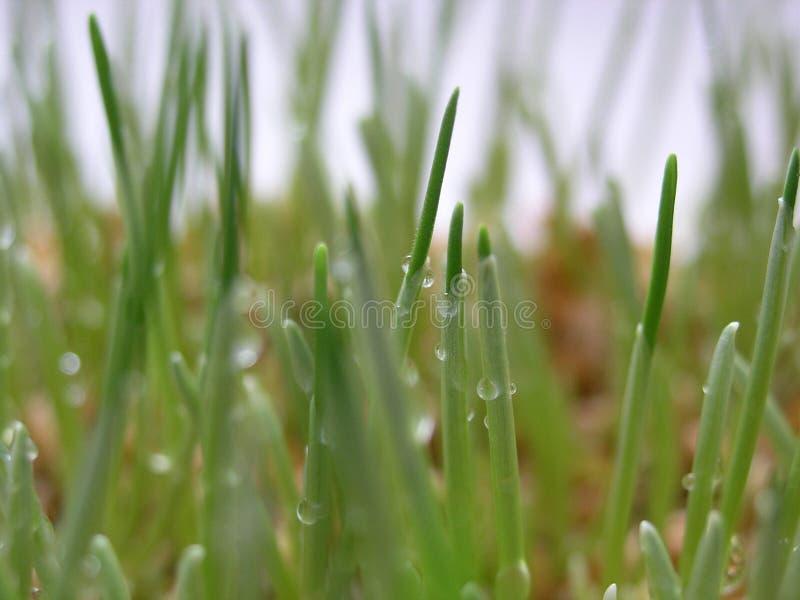 Gekeimter Weizen mit Taumakro stockbilder