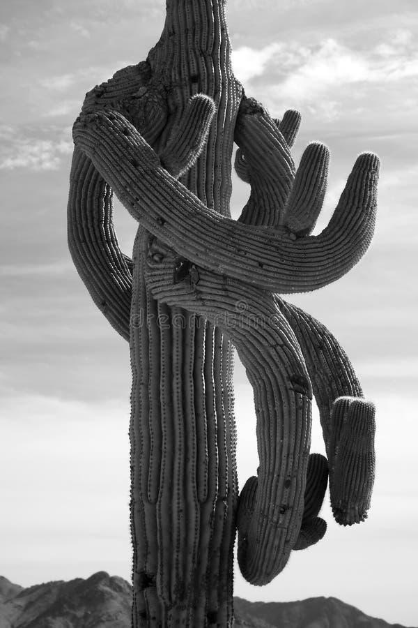 Gekke bizarre Cactus Saguaro Toneel royalty-vrije stock afbeeldingen
