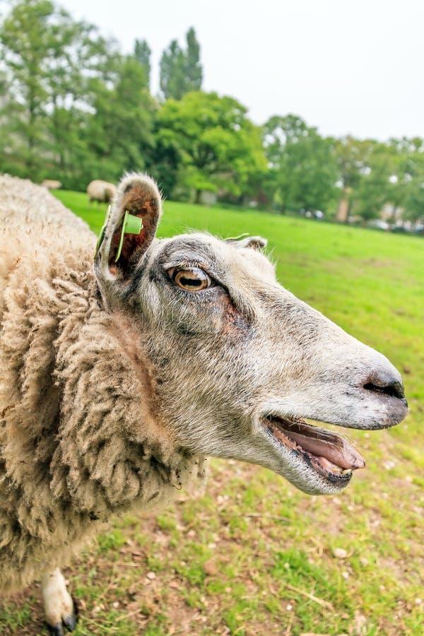 Gekke blatende schapen stock foto