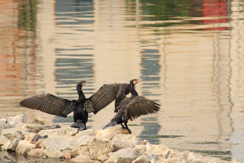 Gekke Carmorants met hun vleugels omhoog en spelend stock foto
