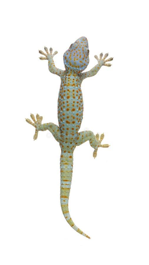 gekko de gecko tokay photographie stock
