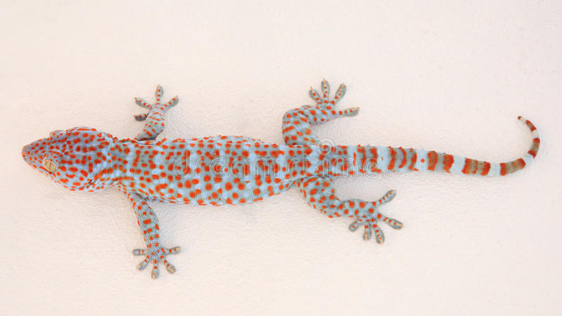 Gekko or gecko. Attacked on white wall stock photography