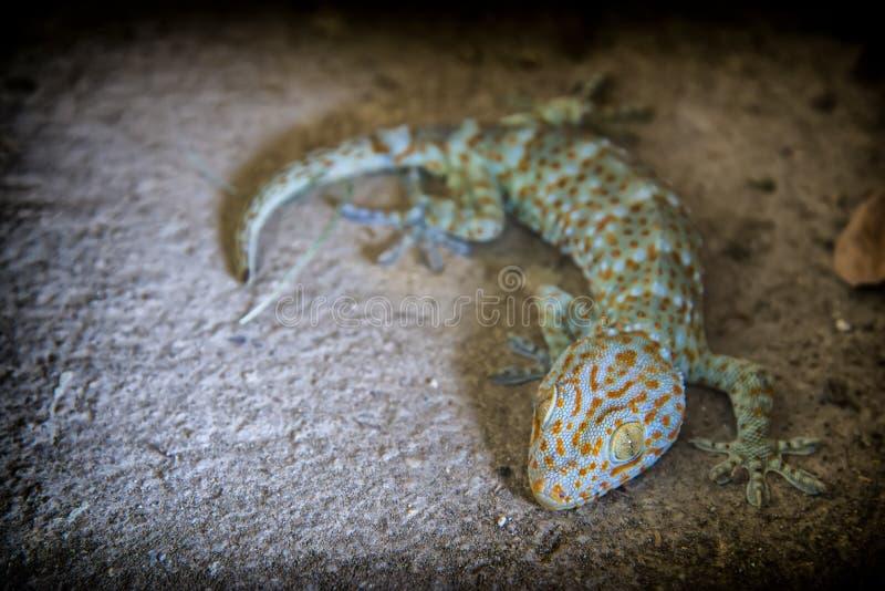 Gekko jest genus i powszechnie dzwonią gekony lub znać jako prawdziwi gekony kolorowi, różnorodni Azji Południowo Wschodniej geko zdjęcie stock