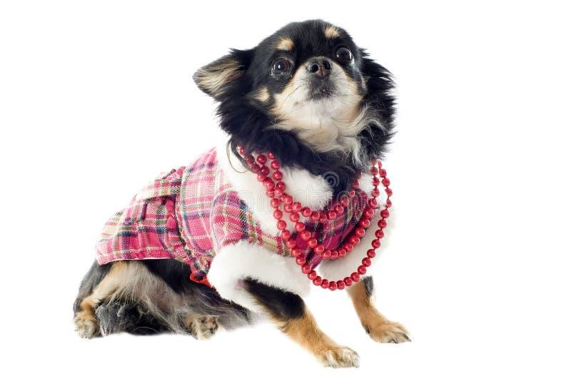 Download Gekleidete Chihuahua stockbild. Bild von tier, haustier - 26366967