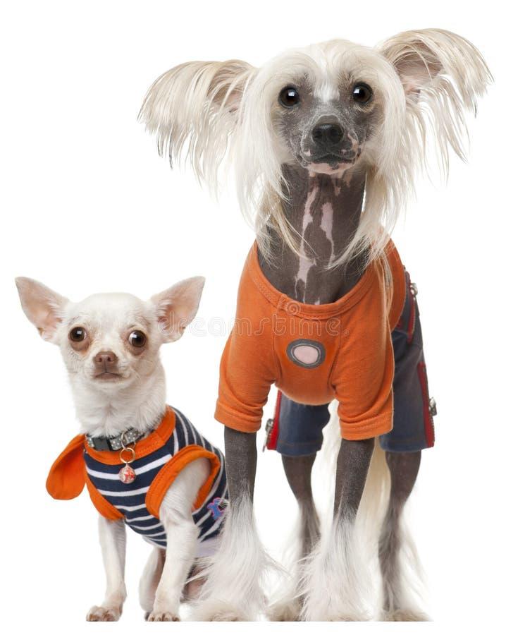 Gekleidete Chihuahua und chinesischer mit Haube Hund stockbild
