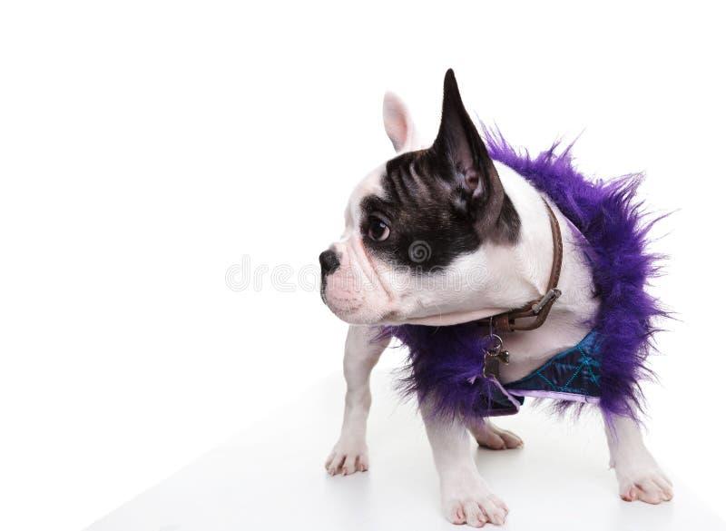 Gekleideter kleiner Welpe der französischen Bulldogge, der zu seiner Seite schaut stockfotografie