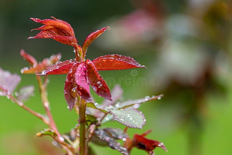 Gekleurd nam bladeren met natte dauwdruppels van vroege de lenteregen toe royalty-vrije stock foto's