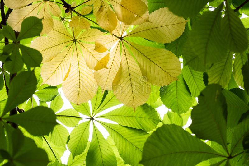 Gekleurde achtergrond van kastanjebladeren royalty-vrije stock fotografie