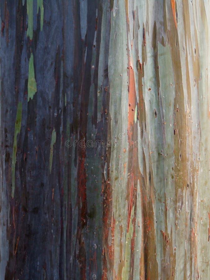 Gekleurde boomschors van rubberboom bij ananasaanplanting, Oahu, Hawaï stock afbeeldingen