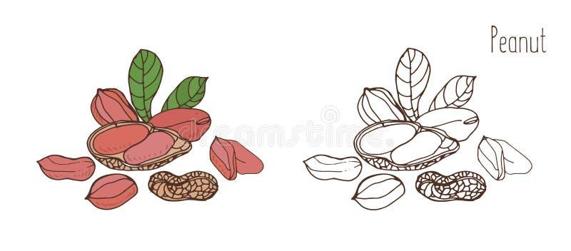 Gekleurde en zwart-wit tekeningen van pinda in shell en geschild met bladeren Heerlijke eetbare steenvruchten of binnen getrokken royalty-vrije illustratie