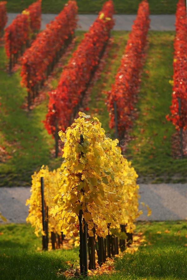 Gekleurde wijngaard stock fotografie