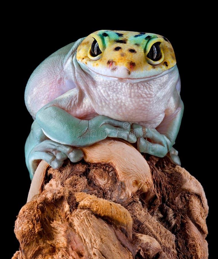 Gekon żaba obrazy royalty free