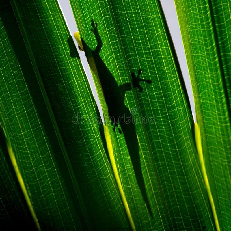 Gekon na backlit drzewko palmowe liściu zdjęcia royalty free