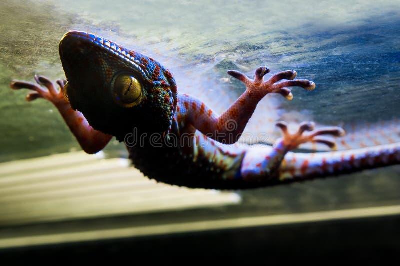 Gekon w terrarium zdjęcia royalty free