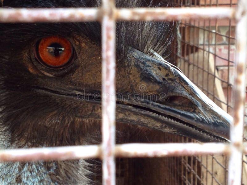 Gekooide Struisvogel stock afbeeldingen