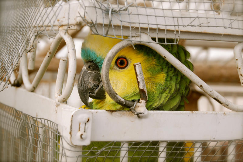 Gekooide Vogel stock foto