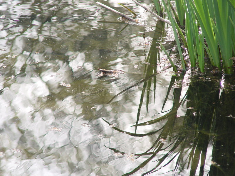 Gekräuselte Schilfe im Teich lizenzfreie stockbilder