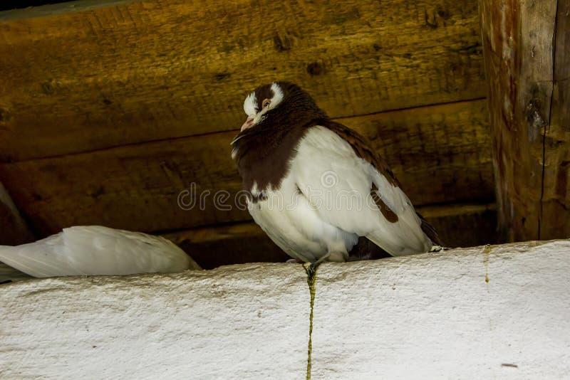 Gekräuselte Taube im Dachboden lizenzfreie stockbilder