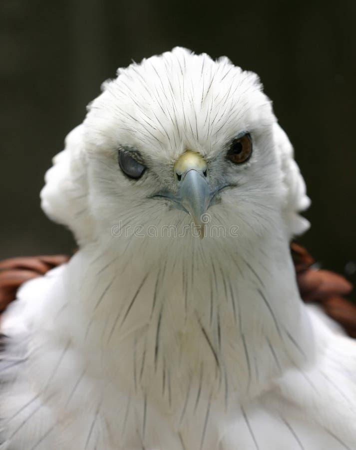 Gekräuselter Adler Lizenzfreie Stockfotos