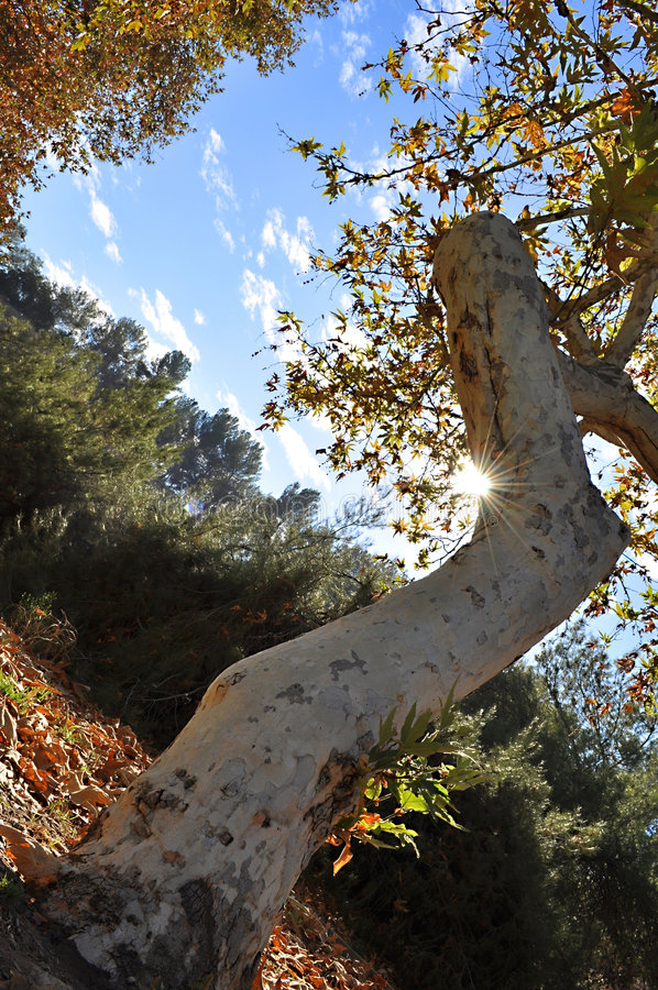 Gekrümmter Baum stockbilder