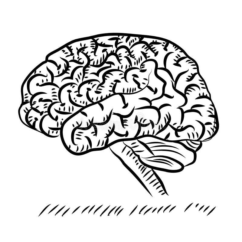 Gekritzel-Kleinhirn der Seitenansicht der Anatomie des menschlichen Gehirns über weißen Hintergrund lizenzfreie abbildung
