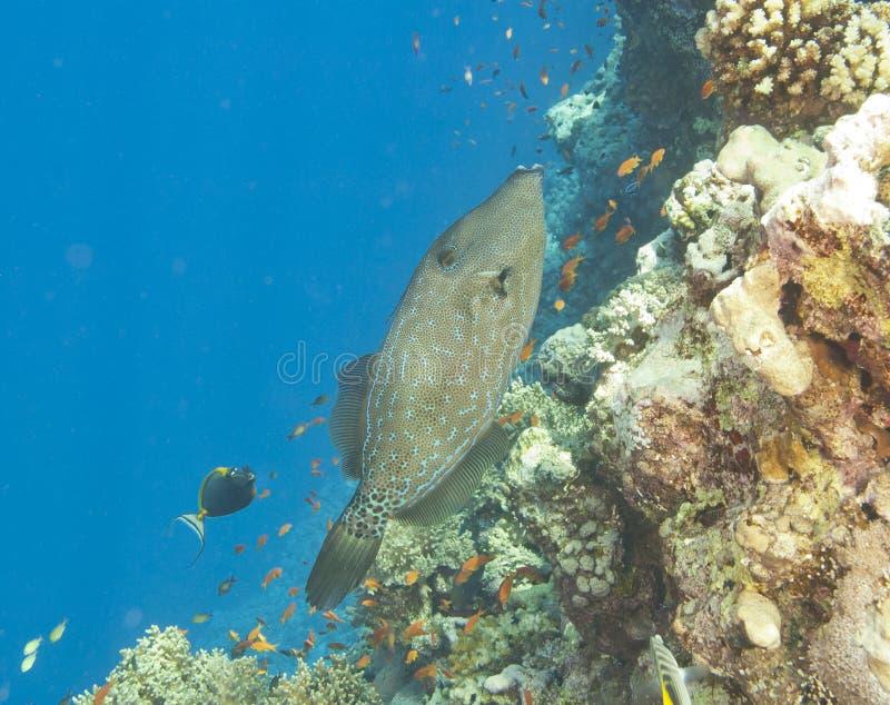 Gekritzelter Filefish auf einem Riff lizenzfreies stockbild