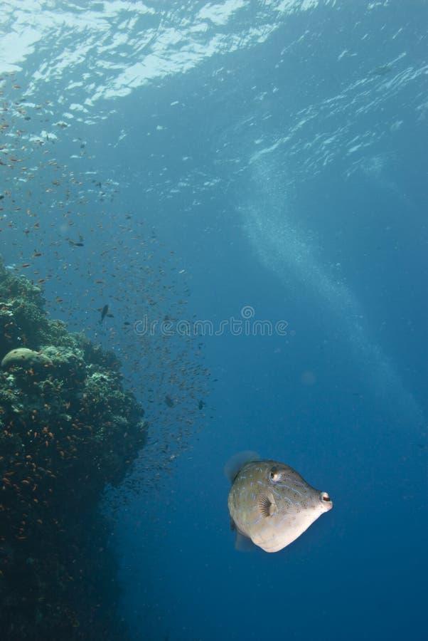 Gekritzelter Filefish mit blauem Hintergrund. stockfotografie
